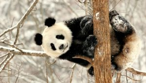 Why are Pandas so cute? And other things you didn't know about these adorable creatures…